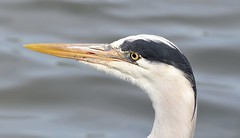 Grey Heron #1 (MJ Harbey) Tags: heron greyheron ardeacinerea aves pelicaniformes ardeidae ardea miltonkeynes furztonlake buckinghamshire nikon d610 nikond610 portrait bird