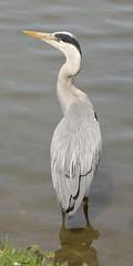 Grey Heron #3 (MJ Harbey) Tags: heron greyheron bird ardeacinerea ardea aves pelecaniformes ardeidae water lake furztonlake miltonkeynes buckinghamshire nikon d610 nikond610