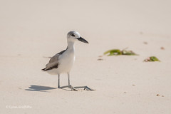 Crab Plover taking a breather 501_8792.jpg (Mobile Lynn) Tags: waderswetlandbird birds crabplover plover nature bird charadriiformes coastal dromasardeola fauna shorebird shorebirds wader waders wetland wetlandbirds wildlife seychelles