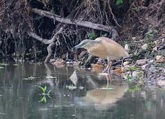 17 05 2019 (cathyk31) Tags: oiseau crabierchevelu ardeolaralloides ardéidés pélécaniformes squaccoheron bird