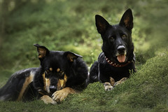 Pine cone friends (Nymeriana) Tags: dogs dog gsd germanshepherddog shepherd rescue mixbreed xbreed rescuedog rottweilermix nature outdoors cute animal blackandtan