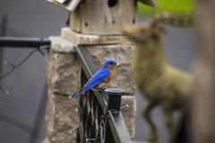 Bluebird with Stinkbug (Matt Champlin) Tags: bluebird bird birding beautiful nest spring springtime skaneateles home stinkbugs canon 2019