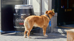 Waiting for the boss to return (andzwe) Tags: breda café dog waiting outside sunny zonnig netherlands nederland city hond guinness vat 1759 beer bier irish pub irishpub omearas barrel grotemarkt reigerstraat trouw loyalty