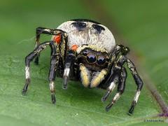 Jumping Spider, Phiale sp., Salticidae (Ecuador Megadiverso) Tags: andreaskay arachnida ecuador focusstack id584 jumpingspider phialesp salticidae spider