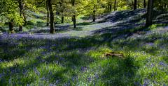 Dappled. (AlbOst) Tags: bluebells spring kinclaven kinclavenwoods perthshire dappled dappledlight woods outlander flowers springflowers