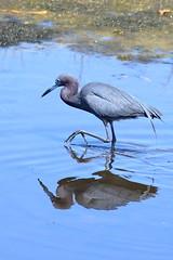 Little Blue Heron, San Diego Co., CA_4160(1) (Patterns and Light) Tags: 2019 california egretta caerulea egrettacaerulea fishing hunting predator