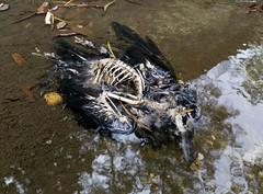 Deceased Raven (cowyeow) Tags: evil harsh sick dead death fester sad hongkong rotting corpse carcass festering china lantau lantauisland asia asian nasty crow raven bird birds birding skeleton water drowned spooky scary creepy