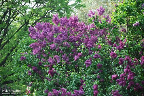 Київ, Ботанічний сад імені Гришка  Цвіте бузок InterNetri Ukraine 77