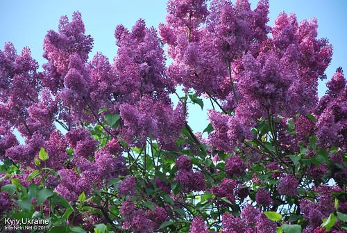 Київ, Ботанічний сад імені Гришка  Цвіте бузок InterNetri Ukraine 73