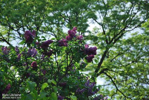 Київ, Ботанічний сад імені Гришка  Цвіте бузок InterNetri Ukraine 69