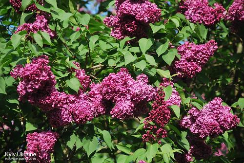 Київ, Ботанічний сад імені Гришка  Цвіте бузок InterNetri Ukraine 58