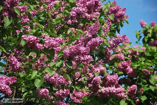 Київ, Ботанічний сад імені Гришка  Цвіте бузок InterNetri Ukraine 54