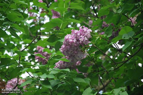 Київ, Ботанічний сад імені Гришка  Цвіте бузок InterNetri Ukraine 25