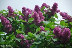Київ, Ботанічний сад імені Гришка  Цвіте бузок InterNetri Ukraine 23