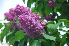 Київ, Ботанічний сад імені Гришка  Цвіте бузок InterNetri Ukraine 21
