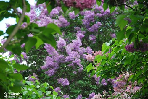 Київ, Ботанічний сад імені Гришка  Цвіте бузок InterNetri Ukraine 19