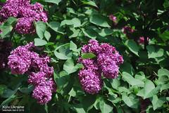 Київ, Ботанічний сад імені Гришка  Цвіте бузок InterNetri Ukraine 10
