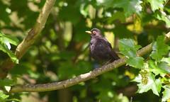 London Wildlife (Adam Swaine) Tags: rspb peckhamryepark birds britishbirds englishbirds gardenbirds blackbird naturelovers nature woodland england english britain british canon uk beautiful trees londonparks wildlife animals