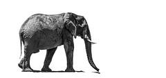Into the unknown (Sheldrickfalls) Tags: elephant elephantbull bw blackandwhite krugernationalpark kruger krugerpark limpopo southafrica olifant
