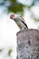 Masked Tityra - female (Osprey-Ian) Tags: