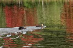 52 in 2019 Challenge - # 29 - Still water (crafty1tutu (Ann)) Tags: challenge 52in2019challenge 29stillwater lagoon water river hawkesbury richmond nsw australia birds ducks crafty1tutu canon1dx canon28300lserieslens anncameron naturethroughthelens