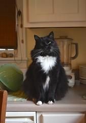 Batman (rootcrop54) Tags: batman longhaired longhair tuxedo male cat kitchen counter smilingeyes neko macska kedi 猫 kočka kissa γάτα köttur kucing gatto 고양이 kaķis katė katt katze katzen kot кошка mačka gatos maček kitteh chat ネコ cute adorable cc100 cc200