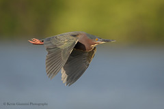 Green Heron (Kevin James54) Tags: butoridesvirescens greenheron lakegalena nikond850 peacevalleypark tamron150600mm animals avian bird heron kevingianniniphotocom