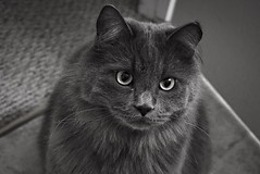 Sora B&W (catandtonic) Tags: sora calgary animal pets pet cats cat