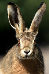 Brown Hare (Pedrosky.) Tags: hare elmley nature wildlife mammal