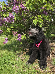 (Jean Arf) Tags: mersey poodle dog standardpoodle puppy baby spring 2019 highlandpark rochester lilacs bloom flowers