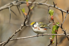 Chestnut-Sided Warbler (Tyler C. Grudowski Photography) Tags: illinois chicago warbler warblers bird birds animal animals wildlife nature
