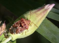 Elasmucha grisea (4) (saracenovero) Tags: elasmuchagrisea acanthosomatidae pentatomomorpha heteroptera hemiptera bugs bugsoflithuania wanzen 2018