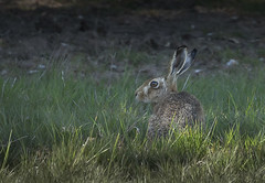 Hare_3633 (Peter Warne-Epping Forest) Tags: holkham peterwarne hare brownhare lepuseuropaeus