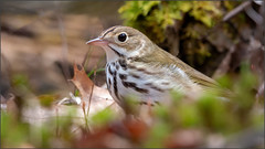 (c)WMH_2019_05_17_5469 Ovenbird (WesleyHowie) Tags: ovenbird birds provincialpark canada location wildlife jerrylawrenceprovincialpark novascotia
