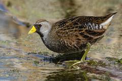 Sora - May-03-2019 (121-1) (JPatR) Tags: 2019 burnidge burnidgeforestpreserve illinois may sora spring bird nature wildlife