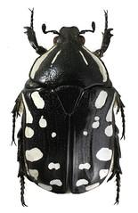 Rhabdotis albinigra (dries.marais) Tags: coleoptera scarabaeidae cetoniinae cetoniini rhabdotis albinigra fruitchafer