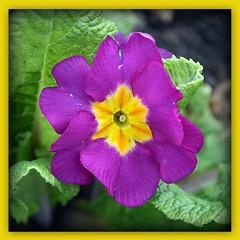 Polyanthus (Manoo Mistry) Tags: polyanthus flowers beddingplants spring springflowers nikon nikond5500 tamron tamron18270mmzoomlens