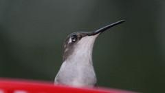 Ruby-throated Hummingbird (blazer8696) Tags: img6673 brookfield connecticut unitedstates 2019 apodiformes arccol archilochus archilochuscolubris bird colubris ct ecw hummingbird obtusehill rthu ruby rubythroated rubythroatedhummingbird t2019 tabledeck throated trochilidae usa