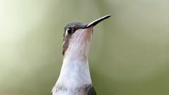 Ruby-throated Hummingbird (blazer8696) Tags: img6651 brookfield connecticut unitedstates 2019 apodiformes arccol archilochus archilochuscolubris bird colubris ct ecw hummingbird obtusehill rthu ruby rubythroated rubythroatedhummingbird t2019 tabledeck throated trochilidae usa