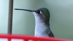 Female Hummingbird (blazer8696) Tags: img6628 brookfield connecticut unitedstates 2019 apodiformes arccol archilochus archilochuscolubris bird colubris ct ecw hummingbird obtusehill rthu ruby rubythroated rubythroatedhummingbird t2019 tabledeck throated trochilidae usa