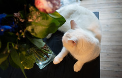 Flowers and a cat (1) (bohelsted) Tags: home em5markii cat flowers summilux leicadg 15mm