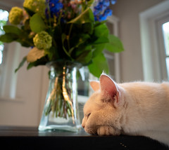 Flowers and a cat (2) (bohelsted) Tags: home em5markii cat flowers leicadg summilux 15mm