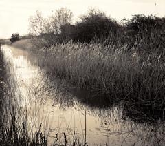 Dawn among the reeds (revised) º» (CactusD) Tags: chamonix 810v 8x10 10x8 largeformat large format film greatbritain great britain uk unitedkingdom gb england oxfordshire otmoor ilford fp4 blackandwhite monochrome bw black white blackwhite nikkorsw150mmf8 nikkor 150mm f8 epson v850 silverfast pyrocathd btzs texture landscape details rspb dawn reeds light