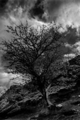 Split tree (s.iafrati@blueyonder.co.uk) Tags: blackandwhite monochrome photography landscape longmynd tree carding valley nikon