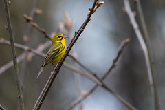 Prairie Warbler, Setophaga discolor (Vieillot, 1809) (Misenus1) Tags: masonnh newhampshire animalia chordata aves birds passeriformes parulidae warblers setophagadiscolor taxonomy:kingdom=animalia taxonomy:phylum=chordata taxonomy:class=aves taxonomy:order=passeriformes taxonomy:family=parulidae taxonomy:binomial=setophagadiscolor