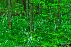Wild Hyacinths (ramseybuckeye) Tags: wild hyacinth wildflowers nature hermon woodlands allen county ohio