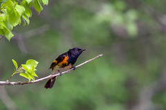 American redstart at Lake Elmo, Minnesota (Lorie Shaull) Tags: americanredstart warbler bird birdwatching setophagaruticilla minnesota lakeelmo