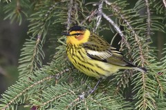 DSC_4445  Cape May Warbler (felicitydawn) Tags: warblers