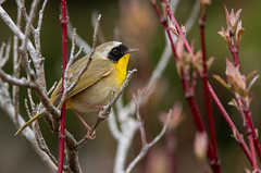 Common Yellowthroat Warbler (NicoleW0000) Tags: commonyellowthroatwarbler warbler songbird bird colourful colorful colour color nature wildlife outdoors branches shrubs tree twigs buds spring migration ontario canada
