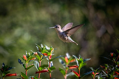 140A8923 (Ricky Floyd) Tags: hummingbird canon